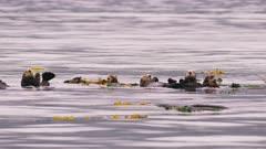 UHD marine shots of sea otters resting near kelp in Prince William sound alaska