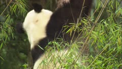 China Chinese Panda Bear Climbing Down Tree In Forest At Wolong