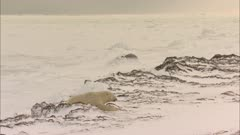 Polar Bear Rests On Pack Ice As Arctic Fox Walks Into Frame