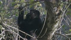 Mountain Gorilla sitting in a tree, eating.