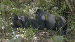 Two Mountain Gorillas taking care of each other