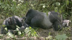 Family of Gorillas taking care of each other
