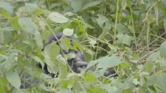 Mountain Gorilla feeding