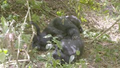 Baby gorillas playing beside their parents