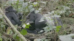 Mountain Gorillas laying down in the forest 1
