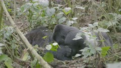 Mountain Gorillas laying down in the forest 2