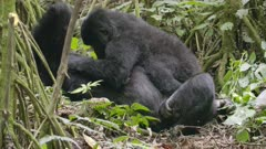 Mountain Gorillas Cuddling