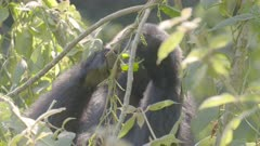 Mountain Gorilla feeding in a tree