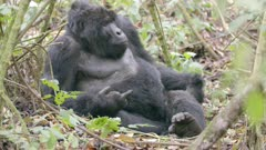 Mountain Gorilla Dominant Male