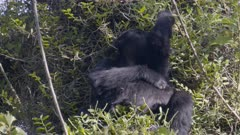 Mountain Gorilla Feeding, laying in the sun