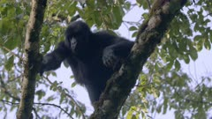 Mountain Gorillas climbing and feeding in a tree
