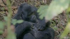 Baby Gorilla playing with sticks