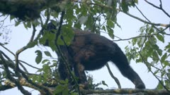 Gorilla feeding in a tree 1