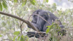 Gorilla feeding in a tree 2