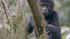 Baby Gorilla climbing up a tree 1