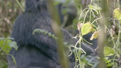 Mountain Gorilla looking at the camera