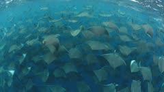 Smoothtail Mobula Rays schooling in blue water off Baja California Peninsula Coast