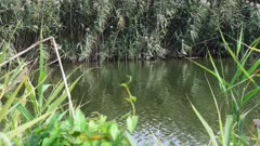 many canes along the small river at my home