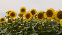 pretty sunflowers field in the sunshine