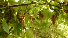 green grape in my garden in the sunshine