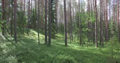 Scenic. Drone aerial footage through forest tree trunks and vegetation.