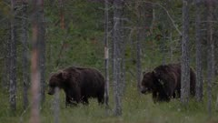 Brown bears interacting and resting in forest vegetation.