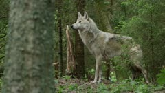 Dense forest undergrowth, wolf stands, looks around, runs searching amongst trees