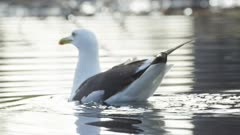 Herring gull swimming on lake, observing surroundings. Exits water.