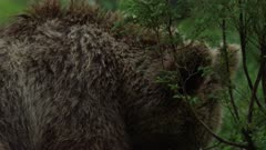 Brown bear cub resting in forest vegetation, chewing.