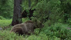 Brown bear cub resting in forest vegetation, chewing. Second, older bear walking and scratching in BG.