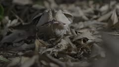 Gaboon viper, scenting, moves across forest floor.