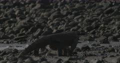 Komodo dragon walking on rocky beach. Second dragon sitting BG.
