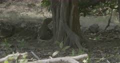 Two Komodo dragons smelling tree in forest, suddenly engage in dominance submission behaviour.