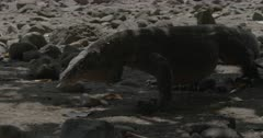 Komodo dragon walks scenting up beach, following second dragon into forest shade.