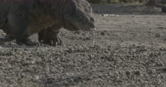 Komodo dragon walks across beach, belly hangs low over sand, sniffs, looks around, saliva strands hang from mouth