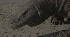 Komodo dragon walks on sand near water's edge, sniffs, looks around