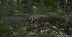 Komodo dragon explores through forest vegetation, sniffs, looks around