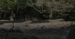 Two komodo dragons lying on low tide mangrove swamp.