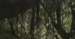 Scenic. Forest interior. Vines hanging from forest canopy among silhouetted tree trunks and backlit leaves.