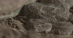 Puff adder curled-up at base of ramshackle kraal fence. Breathing visible.