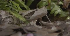 Gaboon viper alert, observant, camouflaged on forest floor.
