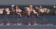 Lesser flamingos standing, sleeping, preening and scratching in lagoon shallows.