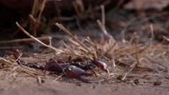 Rock scorpion walking across sandy, dry ground.