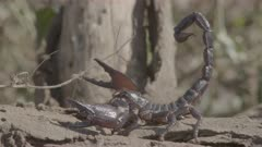 Scorpion poised to strike, climbs down off and shelters under log on ground.