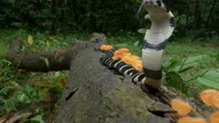 King cobra hatchling resting on fallen branch on forest floor covered with orange cup fungi. Head raised and hood flared.