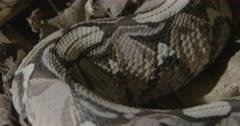 Gaboon viper on forest floor.