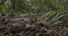 Gaboon viper lying on forest floor.