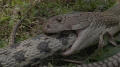 King cobra predation of Rat snake in forest undergrowth