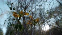 Tree's yellow flowers - (Uncarina grandidieri) poss. Monarch butterfly takes flight.