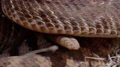 Western diamondback rattlesnake coiled up rattling tail